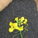 Raps-Samen mit Pflanze