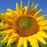 Die Sonnenblume liebt Wärme