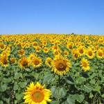 Ein Sonnenblumenfeld in voller Blüte