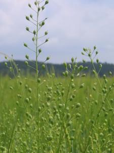 Leindotter-Pflanze auf dem Feld