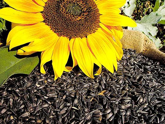 Sonnenblumen-Samen